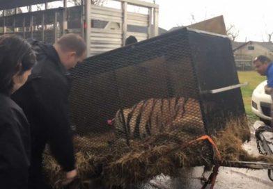 Entró a fumar 'mota' a casa abandonada… y salvó a un tigre