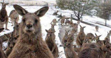 Cae nevada en Australia y canguros la gozan (VIDEO)