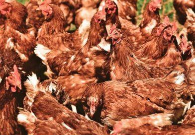 Hombre compra por error… ¡mil gallinas en subasta on-line!